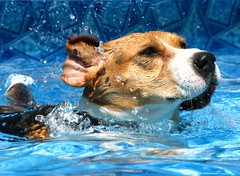 Daisy (Light & Day) Tags: dog chien beagle pool swimming piscine
