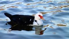 Mrs Duck is Back ... (Jean-christophe 94) Tags: red white black reflection bird water animal duck ducks ondulation jc94 jeanchristophe94