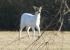 White Deer Redux