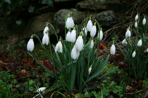 Snowdrops in Swanston Village - Edinburgh