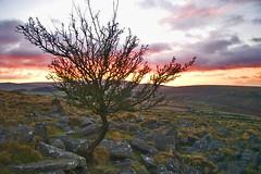 Belstone Tor - Dartmoor (RoryO'Bryen) Tags: winter light tree rory árbol stunning dartmoor helluva splendiferous belstone obryen roryobryen roarsthelion copyrightroryobryen