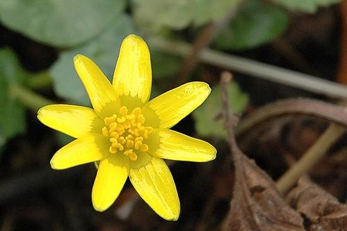 Speenkruid - Ficaria verna subsp. verna
