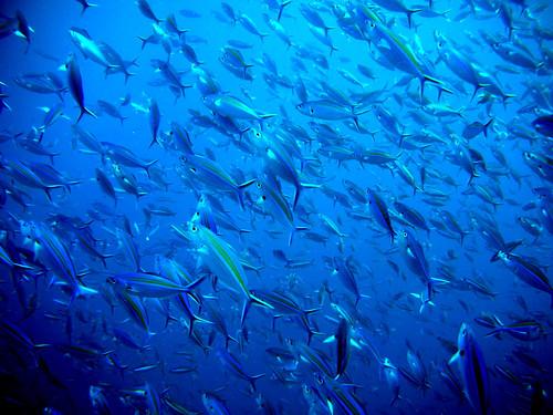 taken while scuba diving at Richelieu Rock of Surin Islands, Thailand.