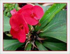 Euphorbia milii var. splendens in our tropical garden