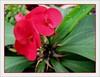 Euphorbia milii var. splendens (Crown of Thorns)