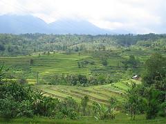 Bali, campos de arroz