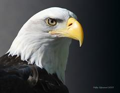 Determination (Phillip Chitwood) Tags: bird nikon bravo eagle baldeagle raptor haliaeetusleucocephalus vins determination quantaray d80 outstandingshots abigfave avianexcellence vermontinstituteofnaturalscience globalvillage2 quantaray70300mmdif456
