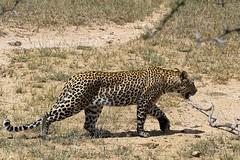 Leopard (Arno Meintjes Wildlife) Tags: africa wallpaper nature animal bush wildlife safari leopard bigcat predator rsa carnivore pantherapardus parkstock impressedbeauty diamondclassphotographer flickrdiamond arnomeintjes