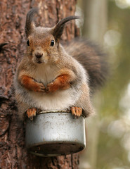 Squirrel on tin (Autumn wind 1) (Tomi Tapio) Tags: cold silly tree pose fur helsinki squirrel funny wind fluffy wintercoat personalfavorite orava cureuil sciurusvulgaris sqrl lookingatcamera eartufts canonef85mmf18usm eurasianredsquirrel kurre winterfur