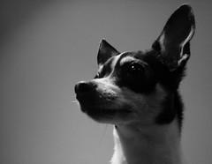 Braddington (Nola Nate) Tags: blackandwhite bw dog pet chihuahua puppy bradford allie canine ibeauty