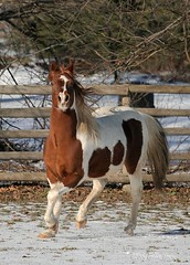 Paint Stallion Trots (myhorse) Tags: winter horses horse ontario canada vertical liberty paint action equestrian trot stallion pinto leslietownequestrianphotography