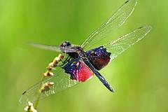 Rhyothemis semihyalina (imanh) Tags: africa tanzania dragonfly afrika phantom libelle iman libel heijboer flutterer rhyothemis imanh semihyalina vlinderlibel