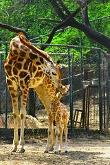 mother and child (varungm) Tags: animals child mother giraffe digitalrebel motherandchild canoneos400d digitalrebelxti varungmaniyan varungm