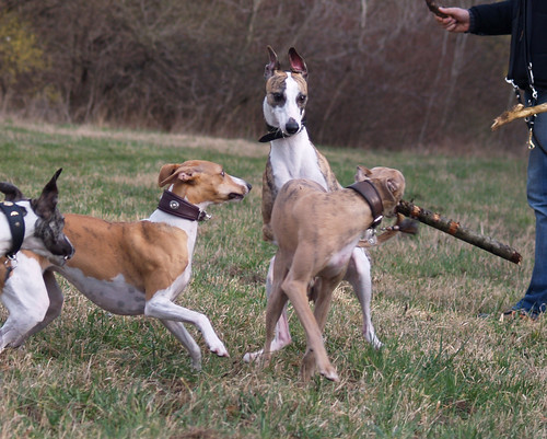 Whippetmeeting in vienna (Donauinsel)