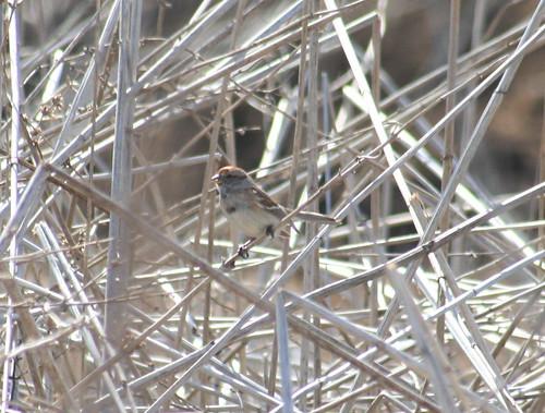 american tree sparrow 02