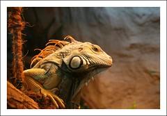 iguana iguana (zonenfred) Tags: animals canon geotagged eos zoo explore tamron halle hallesaale flickrsbest myfirstflickrpicture specanimal animalkingdomelite