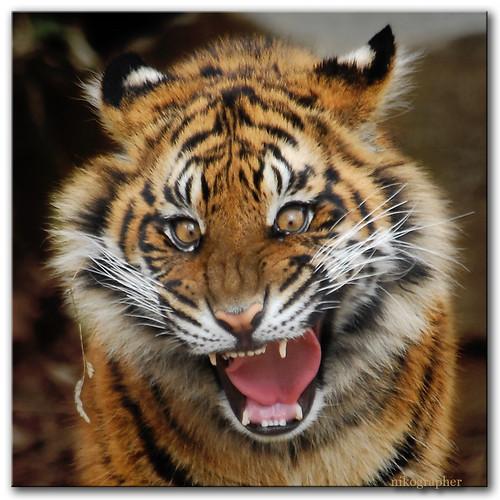 Tiger Cub!