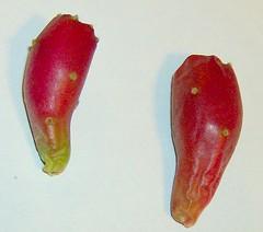 Opuntia Prusilla fruit