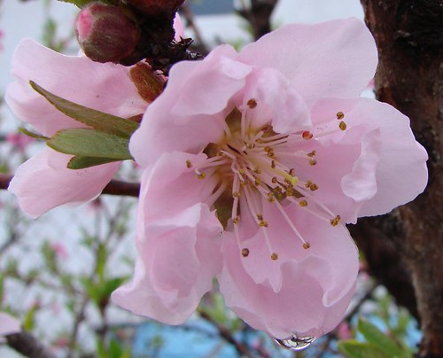 "blossom • <a style=""font-size:0.8em;"" href=""http://www.flickr.com/photos/10528393@N00/435175286/"" target=""_blank"">View on Flickr</a>"