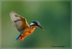king fisher @ Anekre, Karkala (shivanayak) Tags: india bravo kingfisher shiva common karnataka karkala commonkingfisher  shivanayak top20birdshots explored specnature anekere 2007 shivashankar