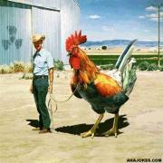 Stor kyckling