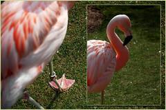 Flamingo Perspectives (Brian Hathcock) Tags: pink green zoo diptych flamingo perspectives utata nczoo asheboronc utataweekendproject utataproject impressedbeauty utata:project=diptych