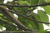 Golden-hooded Tanager (Michael Woodruff) Tags: foothills bird birds ecuador birding 2007 tanager lowland tangara pvm goldenhoodedtanager tangaralarvata goldenhooded nwecuador riosilanche