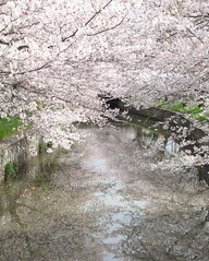 Cherry blossoms at shinkawa river (theblackcoffee) Tags: japan river cherry spring blossom sakura tsuchiura ibaraki shinkawa