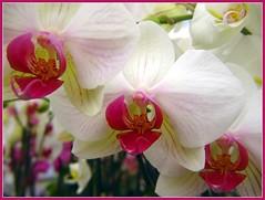 Beauty of Trio (NguyenDai) Tags: orchid flower macro fleur closeup belgium belgique orchide lige abigfave impressedbeauty diamondclassphotographer flickrdiamond nguyendai etsgeorgessladden beautyoftrio beautdutrio