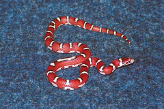 Striped Coastal Plain Milk Snake (rob_valine) Tags: pets animals snakes reptiles photoshopelements20 coldblooded yashicafx3super2000 colubrids tiffen1closeup unlimitedphotos kodakgold100film yashica75200mmf4556lens yashicacs15flash
