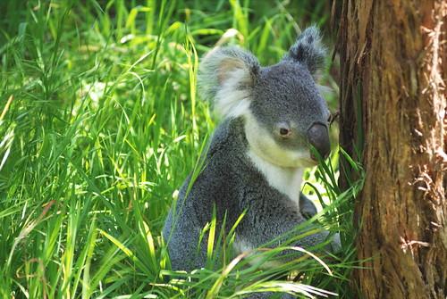 Awwww ... Koala :)