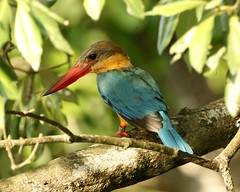 Stork-billed Kingfisher (Pelargopsis capensis) (Lip Kee) Tags: bird aves kingfisher wildlifenature storkbilledkingfisher pelargopsiscapensis halcyoncapensis storkbilled