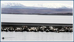 Beautiful nature (joningic) Tags: sea nature iceland seals rest hnavatnsssla