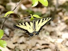 Tiger Swallowtail - by dbarronoss