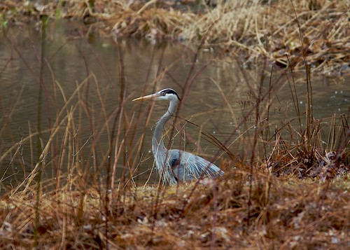 Great Blue Heron Searching for Fish
