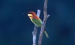 Chestnut-headed Bee-eater (Pia's birdseye view) Tags: beeeaters asianbirds chestnutheadedbeeeater meropsleschenaulti meropsleschenaultileschenaulti