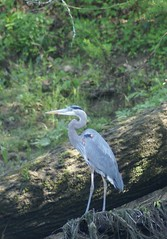 Blue Heron on the bank of the Little Red River, at Swinging Bridge
