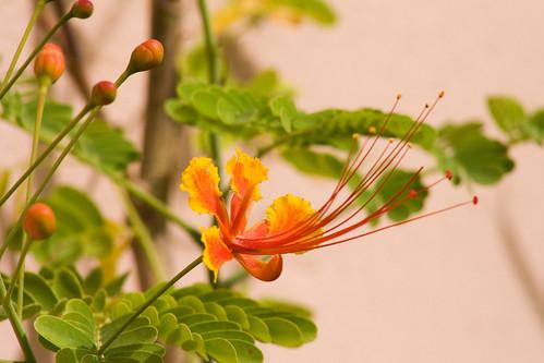 Flowering Dwarf Poinciana (Caesalpinia pulcherrima)