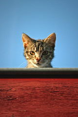 Curiosity killed the cat (Photochiel) Tags: blue roof sky animal cat sweet pussy 5d furryfriday photochiel sneaky 2470f28l goodfella