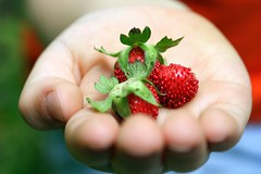 little wild strawberries (Amelia PS) Tags: nature spring hand strawberries ameliaps