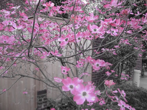 Pink Dogwoods Color Select