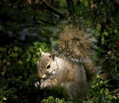Yummy Corn!! (mightyquinninwky) Tags: squirrel kentucky urbanwildlife lexingtonky frontyard fontaineroad chevychasearea