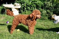 This Is My Photo!! (Donna JW) Tags: poodles miniaturepoodle redpoodle