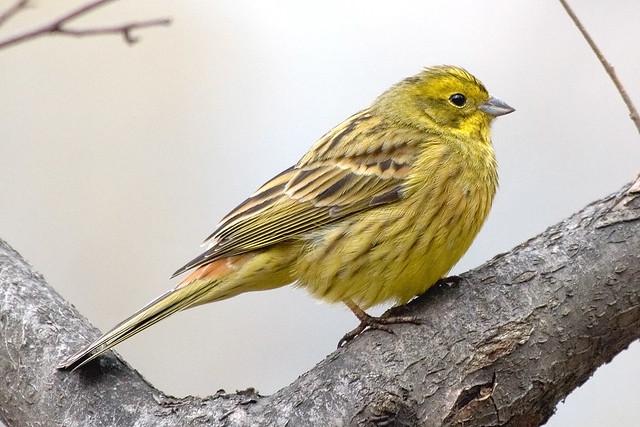 (yellow) bunting, yellow-hammer
