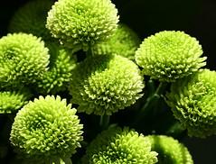 Greenies_01 (regina_austria) Tags: plant macro green nature natur pflanze grn naturesfinest abigfave goldenphotographer macrophotosnolimits colourartaward
