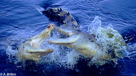 Saltwater crocodile vs tiger - photo#48