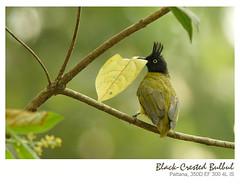 Black-Crested Bulbul/นกปรอทเหลืองหัวจุก