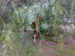 peppercorn tree