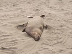 Elephant Seals (scottwberry) Tags: cayucos