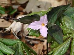 Trillium grandiflorum (pink)